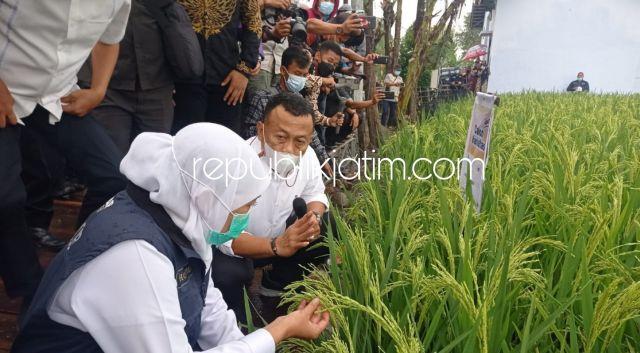 Bisa Panen 16 Ton Per Hektar, Gubernur Jatim Terpikat Padi Hasil Uji Coba Bupati Ponorogo